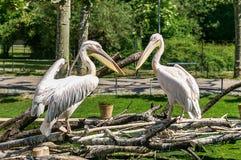 Desambiguação do pelicano, erythrorhynchos americanos do Pelecanus do pelicano branco fotografia de stock