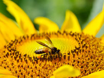 Desantowa pszczoła z kwitnącym słonecznikiem Zdjęcia Royalty Free