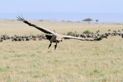 Desantowy afrykanin Popierający sęp w Masai Mara obszarze trawiastym Obrazy Stock