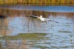 Desantowy pelikan obrazy royalty free