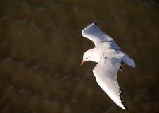 desantowy seagull Fotografia Stock
