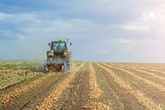 Desarraigadas cebollas en el campo en filas, antes de cosechar por una máquina segadora fotos de archivo