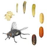 Desarrollo de la mosca doméstica foto de archivo libre de regalías