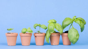 Desarrollo de las plantas de semillero Imagen de archivo