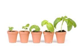 Desarrollo de las plantas de semillero Fotos de archivo