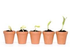 Desarrollo de las plantas de semillero Foto de archivo