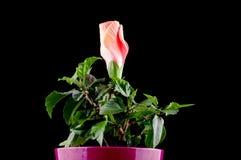 Desarrollo del brote de flor del hibisco Foto de archivo libre de regalías