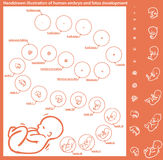 Desarrollo del embrión Foto de archivo