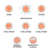 Desarrollo del embrión humano Imagen de archivo libre de regalías