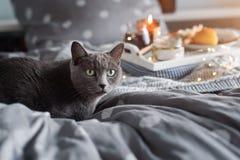 Desayune en cama, una bandeja con queso, grissini, atasco de conos de abeto jovenes, champán y una vela Gato gris en cama Morni d fotos de archivo