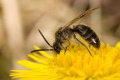 Desayuno de la abeja foto de archivo