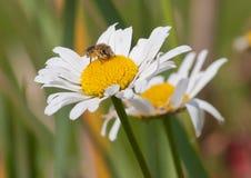 Desayuno de la abeja Imágenes de archivo libres de regalías