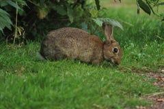 Desayuno del conejo Fotos de archivo