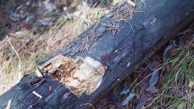 Desbastamento de madeira Mãos do homem usando o machado de gelo Tiro do close-up Movimento lento video estoque