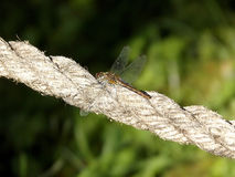 Descansando a libélula Foto de Stock Royalty Free