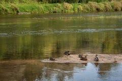 Descansar ducks na areia ainda no rio largo no dia de verão na floresta imagem de stock royalty free