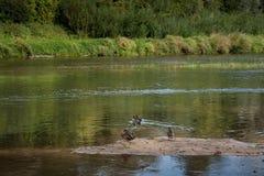 Descansar ducks na areia ainda no rio largo no dia de verão na floresta fotos de stock