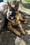 Descanso alemão do cão-pastor Imagens de Stock Royalty Free