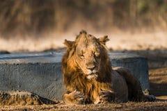 Descanso asiático do leão Foto de Stock