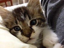 Descanso bonito do gatinho Imagens de Stock