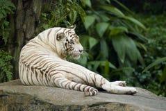 Descanso branco do tigre Foto de Stock Royalty Free