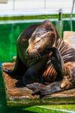 Descanso californiano dos leões de mar Fotos de Stock Royalty Free
