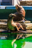 Descanso californiano dos leões de mar Imagens de Stock
