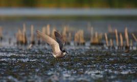 Descanso comum do hirundo dos esternos da andorinha-do-mar Fotografia de Stock