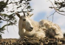 Descanso da cabra de montanha Imagem de Stock