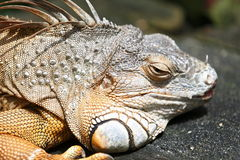 Descanso da iguana imagens de stock