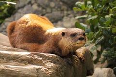 Descanso da lontra Fotos de Stock Royalty Free