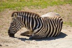 Descanso da zebra Imagem de Stock