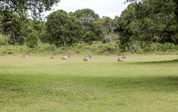 Descanso das gazelas fotografia de stock royalty free