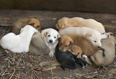 Descanso de dez filhotes de cachorro Imagens de Stock