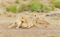 Descanso de Lion Pride Fotografia de Stock Royalty Free