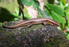 Descanso de Skink Foto de Stock Royalty Free