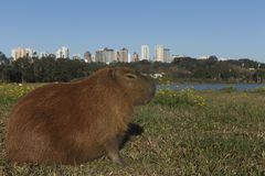 Descanso do Capybara fotografia de stock royalty free