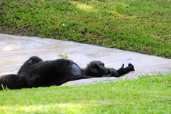 Descanso do chimpanzé Imagem de Stock Royalty Free