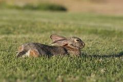 Descanso do coelho de coelho Fotos de Stock Royalty Free