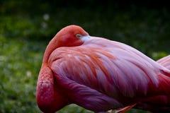 Descanso do flamingo Imagem de Stock