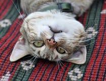 Descanso do gato de gato malhado Fotografia de Stock
