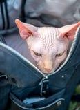 Descanso do gato de Sphynx foto de stock