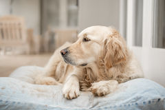 Descanso do golden retriever Imagens de Stock Royalty Free