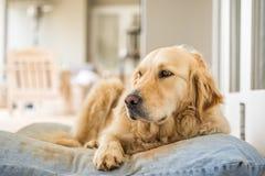 Descanso do golden retriever Fotos de Stock Royalty Free