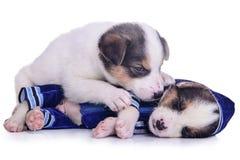 Descanso do mestiço dos cachorrinhos da roupa Fotografia de Stock