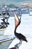 Descanso do pelicano Fotos de Stock