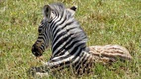 Descanso do potro da zebra Imagens de Stock Royalty Free