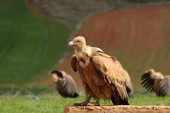 Descanso dos abutres Foto de Stock Royalty Free
