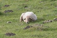 Descanso dos carneiros de Latxa Fotos de Stock Royalty Free