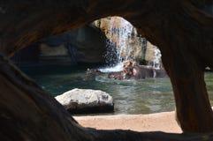 Descanso dos hipopótamos Foto de Stock Royalty Free